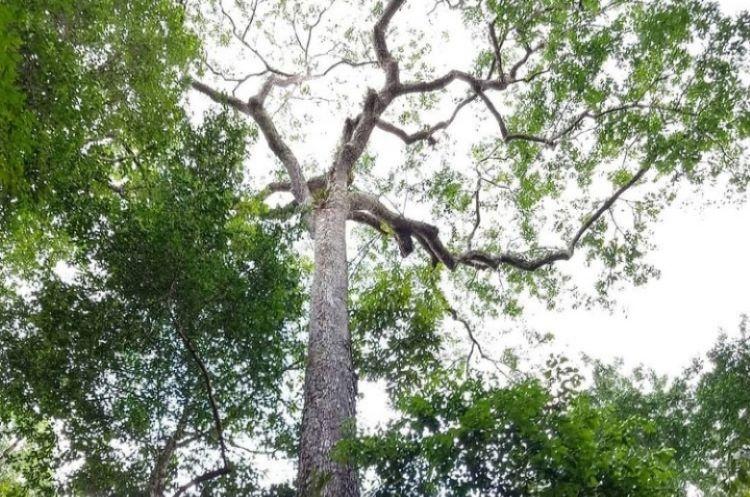 Árvores gigantes: Nova expedição em setembro