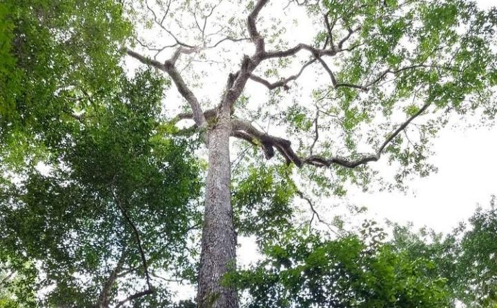 Nova expedição na busca de árvores gigantes tem data definida